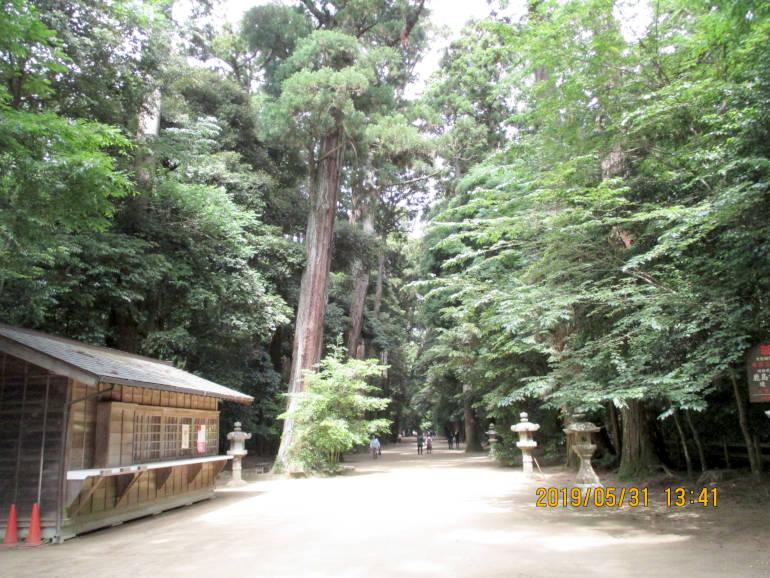 ⑧杉の巨木