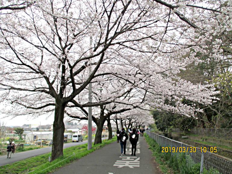 ⑨花冷えでも桜満開