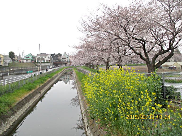 ⑩芝川と菜の花と桜