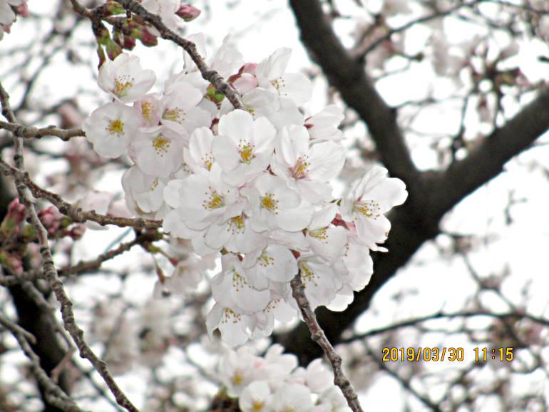 ⑪桜の花びら
