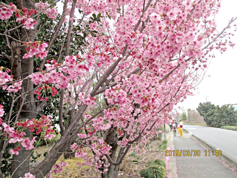 ⑬桃桜でしょうか、国昌寺付近です